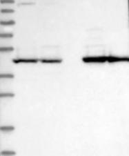 NBP1-81545 - PSMD6