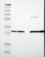 NBP1-83121 - PSME1