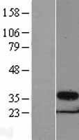 NBL1-14911 - PSMG1 Lysate