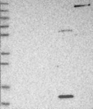 NBP1-86725 - PSMG3