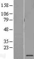 NBL1-14913 - PSMG3 Lysate