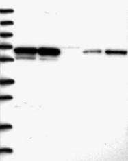 NBP1-83801 - PSPC1 / PSP1