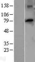 NBL1-14923 - PTCD3 Lysate