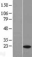 NBL1-14937 - PTGES3 Lysate