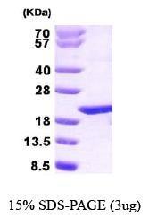 NBP1-30281 - PTGES3 / TEBP