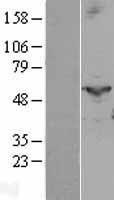 NBL1-14940 - PTGIS Lysate