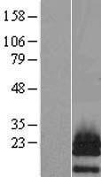NBL1-14949 - PTHLH Lysate