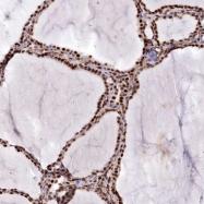 NBP1-80948 - Parathymosin / PTMS