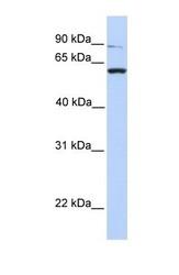 NBP1-62456 - PTPRA