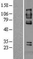 NBL1-14979 - PTP alpha Lysate