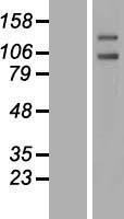 NBL1-14980 - PTP alpha Lysate