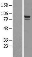 NBL1-14962 - PTPDC1 Lysate