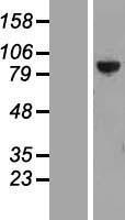 NBL1-14963 - PTPDC1 Lysate