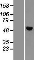 NBL1-14967 - PTPN1 Lysate