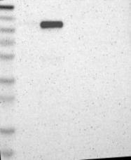 NBP1-87188 - PTPN12