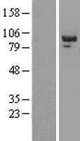 NBL1-14969 - PTPN12 Lysate