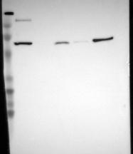 NBP1-83276 - PTPN6
