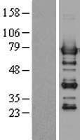 NBL1-14976 - PTPN6 Lysate