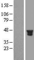 NBL1-14978 - PTPN7 Lysate
