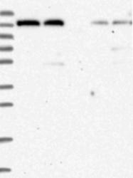 NBP1-87091 - PTPRH / SAP1