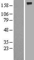 NBL1-14985 - PTPRJ Lysate