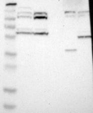 NBP1-81628 - PTPRN2