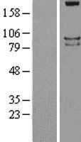 NBL1-14988 - PTPRS Lysate