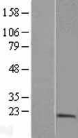 NBL1-14990 - PTRH2 Lysate