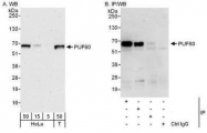 NBP1-49906 - PUF60 / SIAHBP1