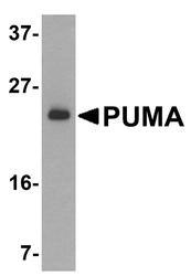 NBP1-76639 - PUMA
