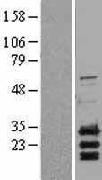 NBL1-07925 - PUMA Lysate