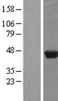 NBL1-14997 - PUS1 Lysate
