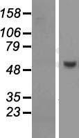 NBL1-14998 - PUS10 Lysate