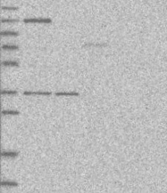 NBP1-86554 - CD111 / Nectin 1