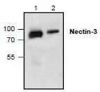 NBP1-45736 - CD113 / Nectin 3