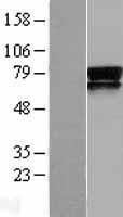 NBL1-15007 - PVRL3 Lysate