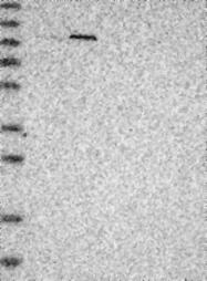 NBP1-84884 - PWP2
