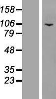 NBL1-15010 - PWP2H Lysate