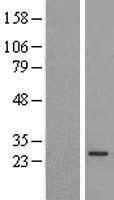 NBL1-14745 - PX19 Lysate