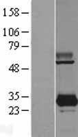 NBL1-15019 - PYCRL Lysate