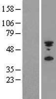 NBL1-15023 - PYHIN1 Lysate