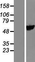 NBL1-15024 - PYROXD1 Lysate