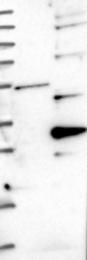 NBP1-87357 - Pallidin (PLDN)