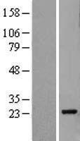 NBL1-14498 - Pallidin Lysate