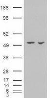 NBP1-47659 - Alpha-amylase 2A