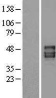 NBL1-14093 - Pannexin 1 Lysate