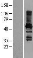 NBL1-14087 - Paralemmin Lysate