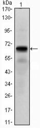 NBP1-51640 - PTH Receptor 1