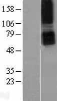 NBL1-14950 - Parathyroid Hormone Receptor 1 Lysate