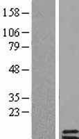 NBL1-14946 - Parathyroid hormone 2 Lysate